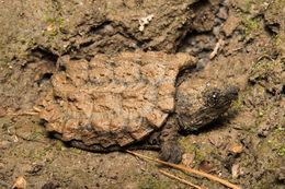 Image of <i>Macrochelys apalachicolae</i> Thomas et al. 2014