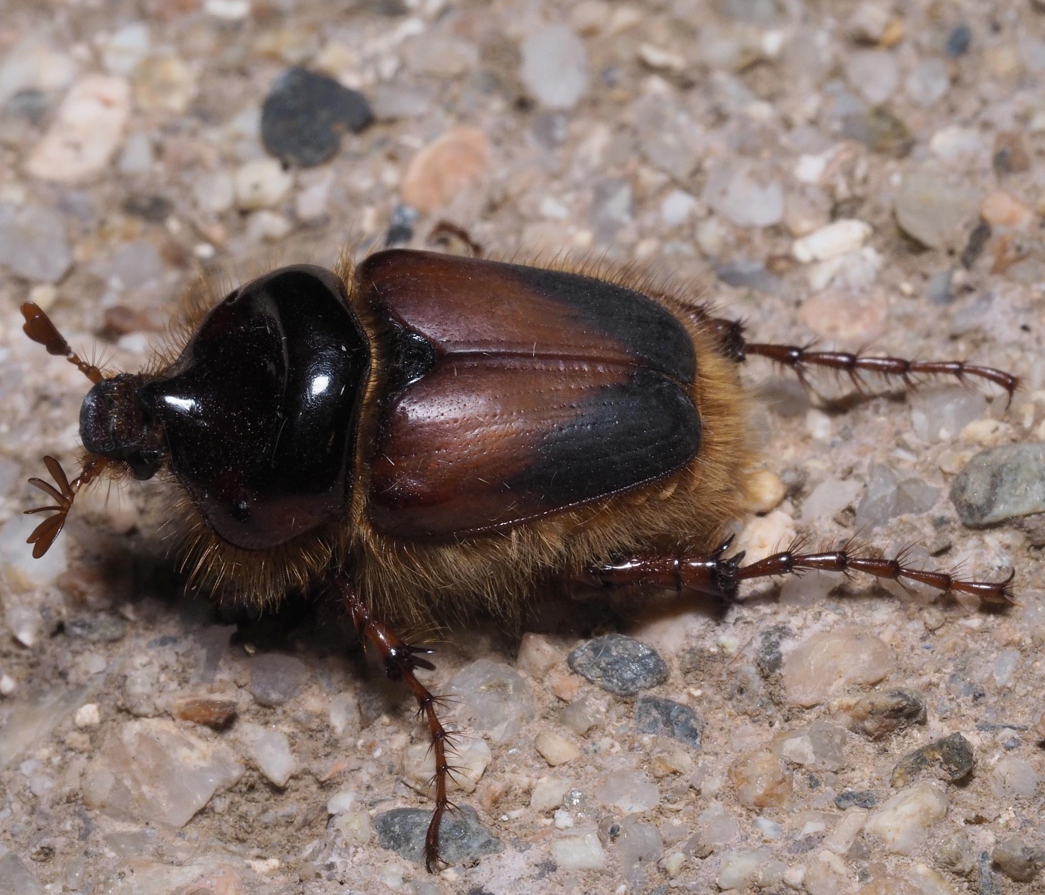 Image of <i>Pachypus candidae</i> (Petagna 1787)