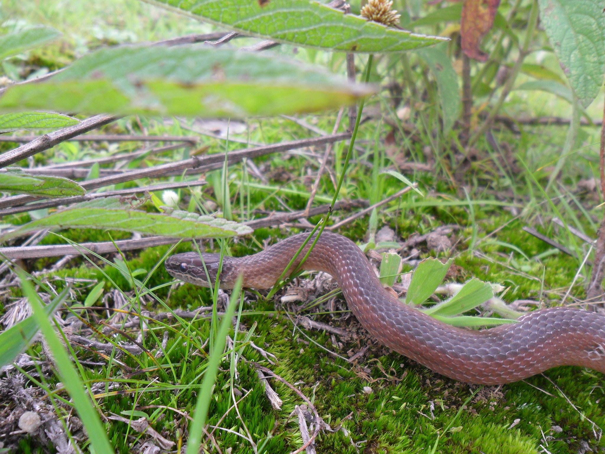 Image of Crowned Graceful Brown Snake