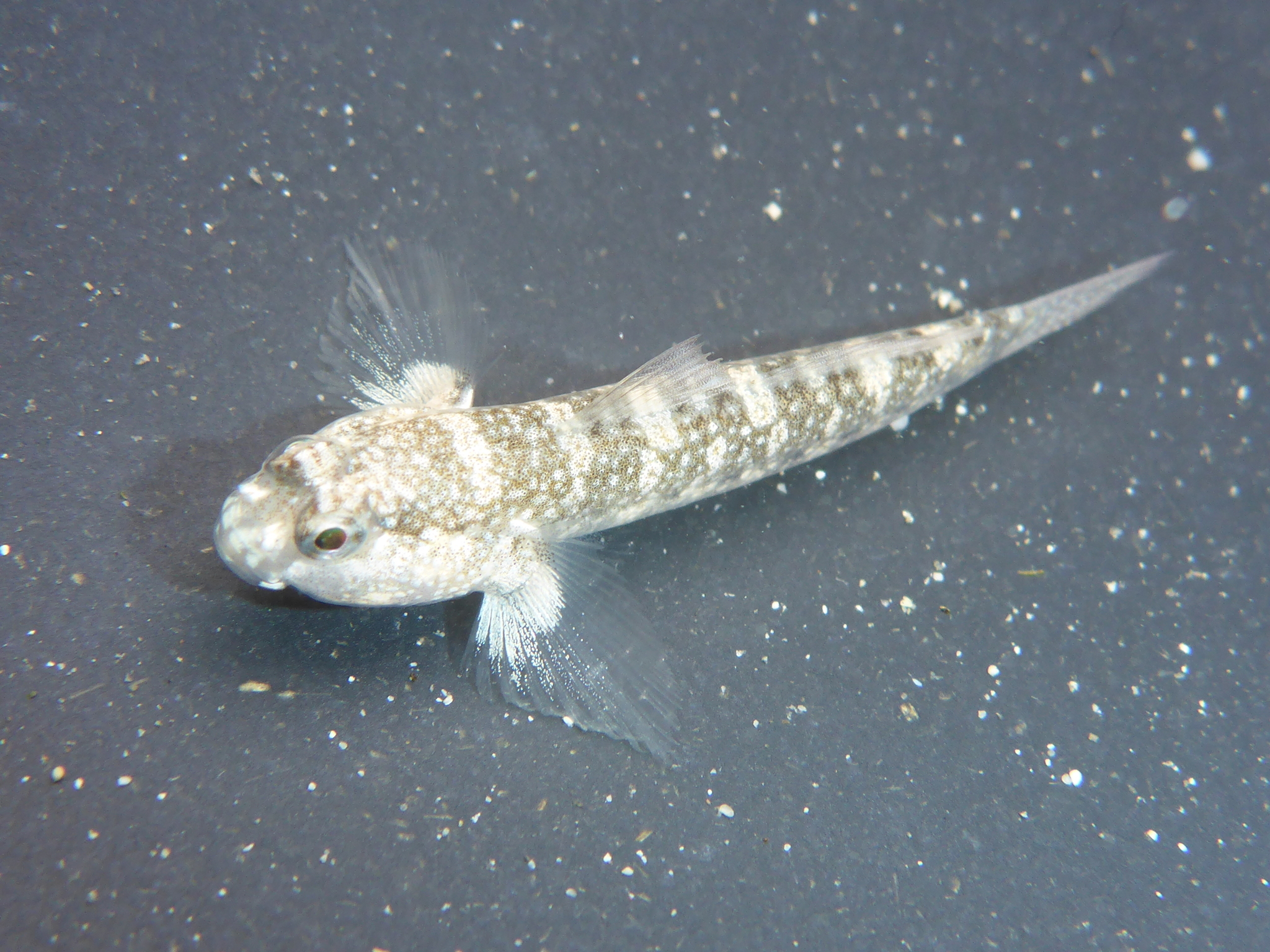 Image of Sonora goby