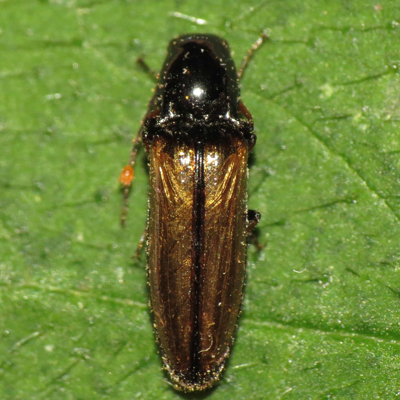 Image of <i>Oestodes tenuicollis</i> (Randall 1838)
