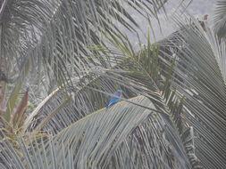 Image of <i>Coracias benghalensis affinis</i> Horsfield 1840