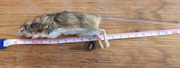 Image of White-ankled Deermouse