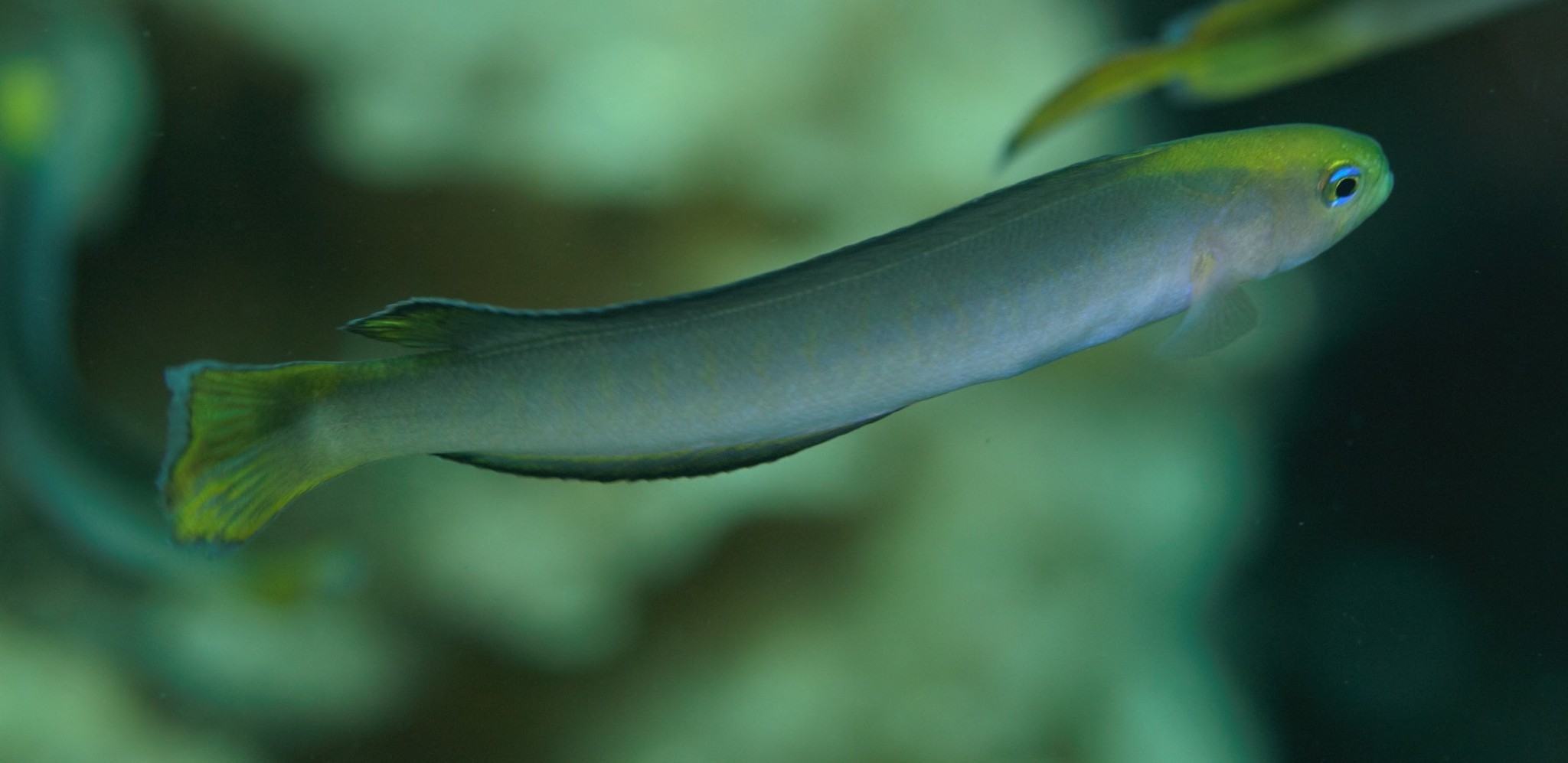 Image of Noarlunga hulafish