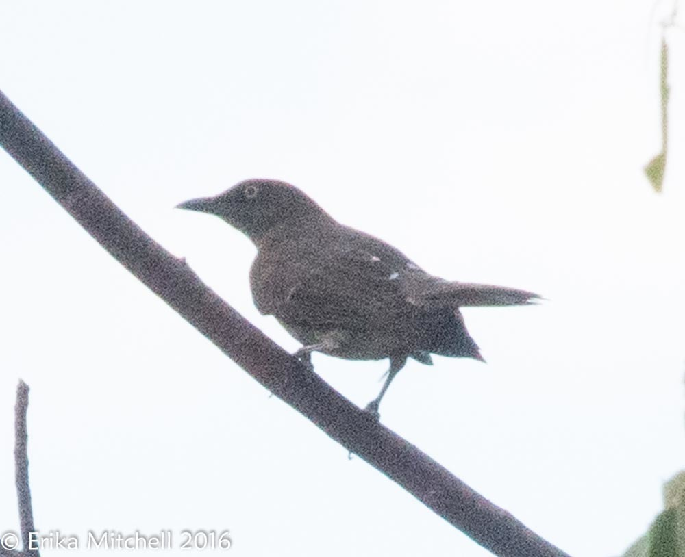 Image of Scaly-breasted Thrasher