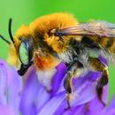 Image of <i>Megachile latimanus</i> Say 1823
