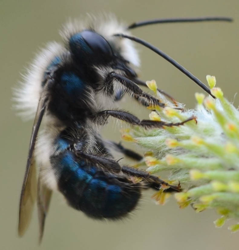 Image of Blue Orchard Bee