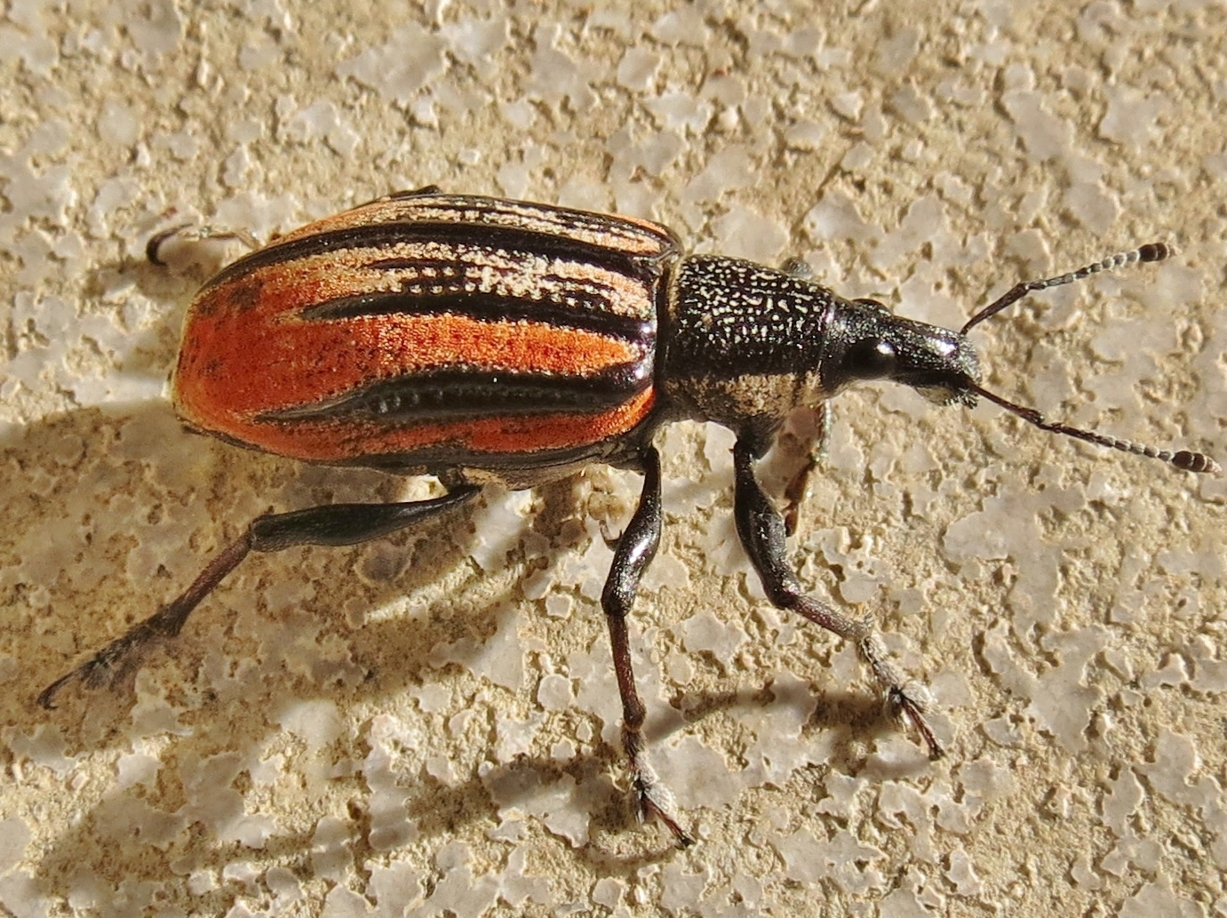 Image of Diaprepes Root Weevil