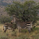Image of Cape Mountain Zebra