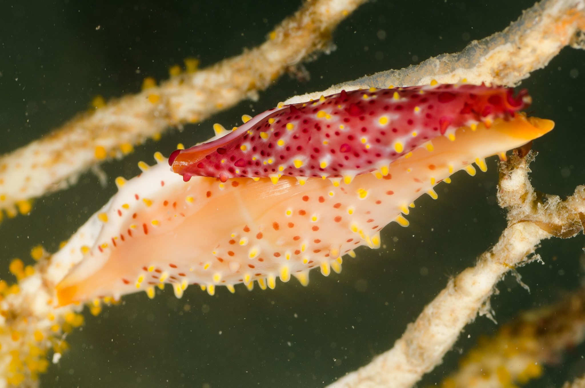 Image of Rosy Spindle Cowry