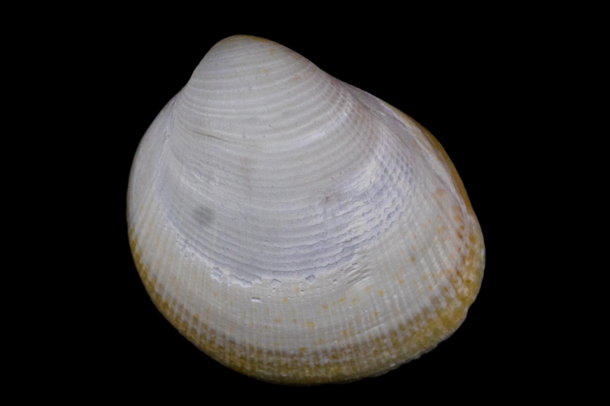 Image of <i>Laevicardium substriatum</i> (Conrad 1837)
