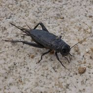 Image of African field cricket