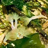 Image of large green phoronid