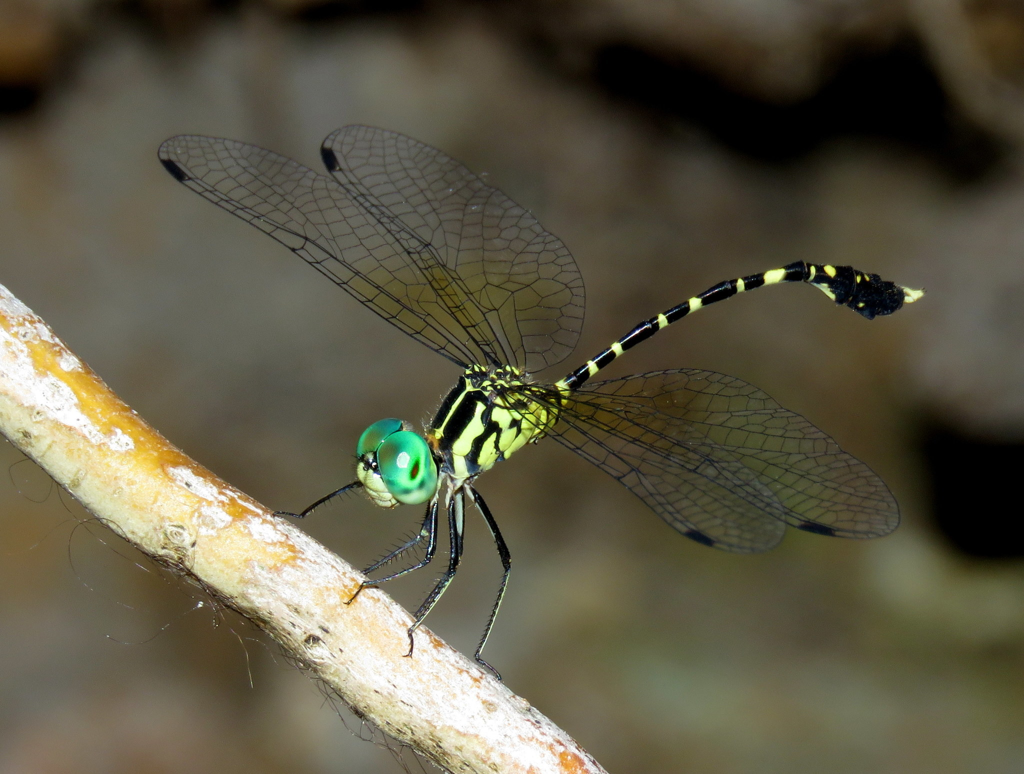 Image of Common Archtail