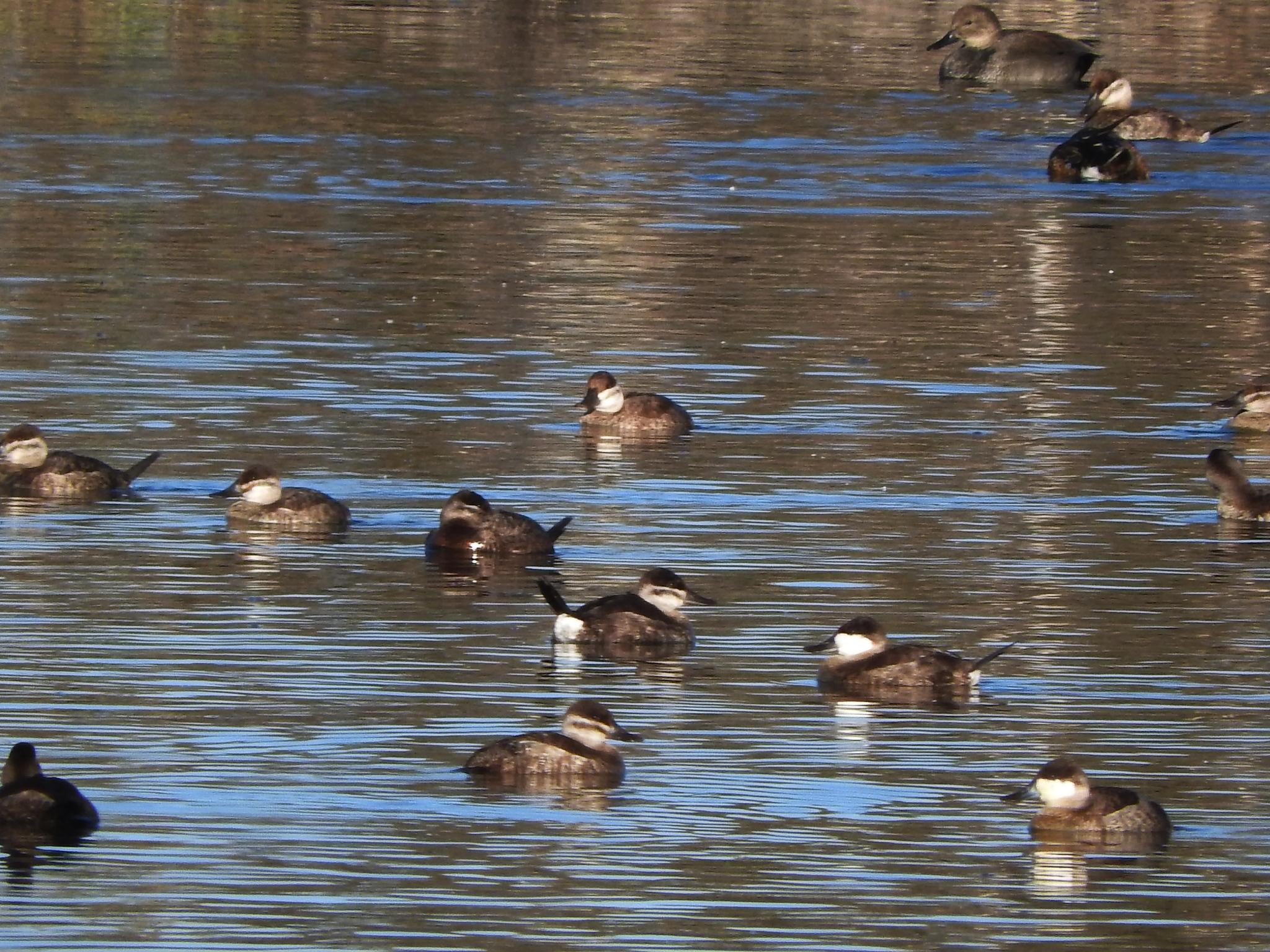 Image of Ruddy Duck
