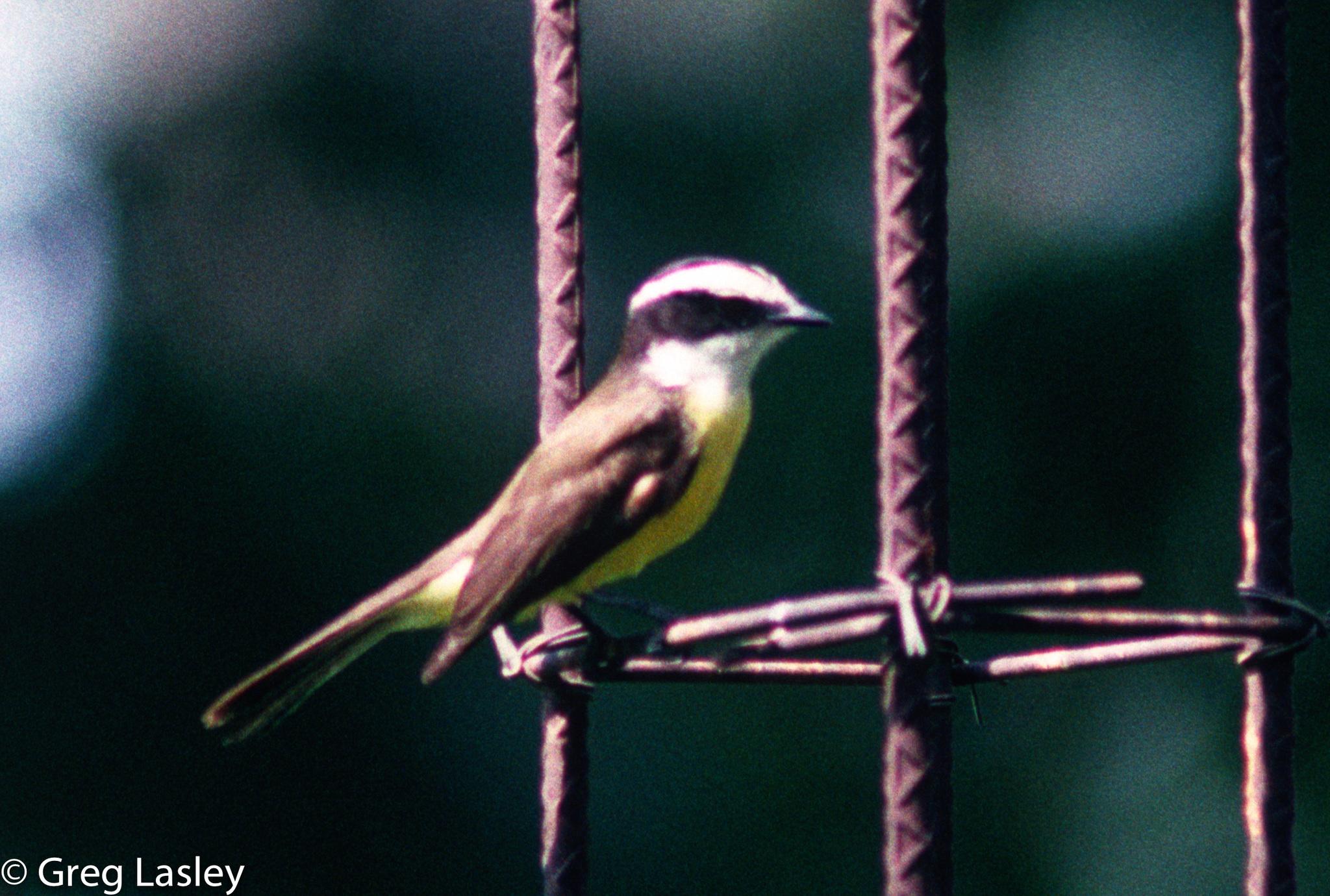 Image of White-bearded Flycatcher