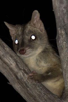 Image of Western quoll