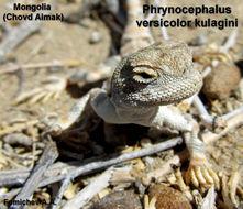 Image of Tuvan Toad-headed Agama