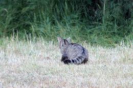 Image of European Wildcat