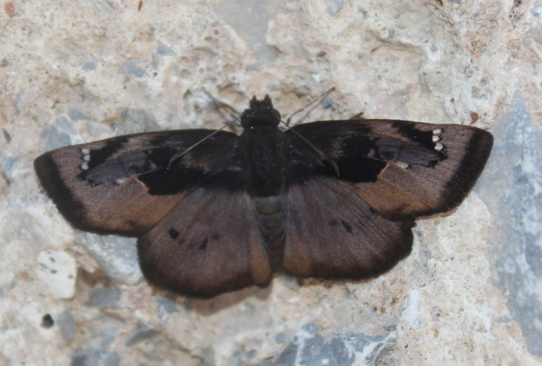 Image of <i>Zera <i>hyacinthinus</i></i> ssp. hyacinthinus