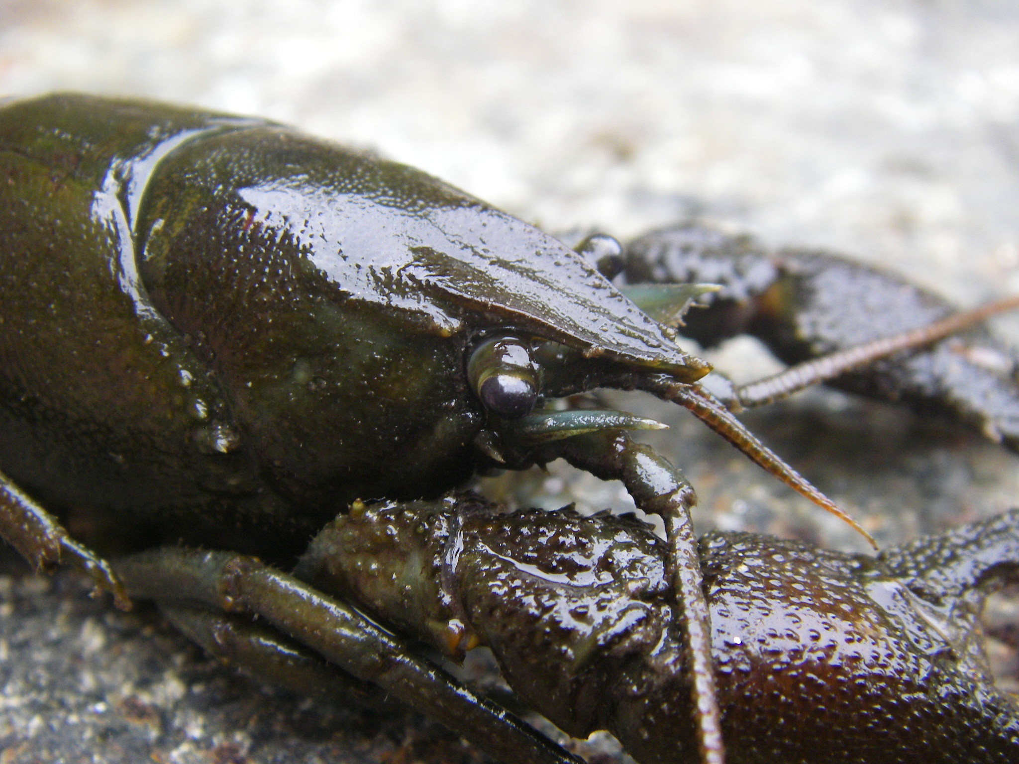 Image of Atlantic Stream Crayfish