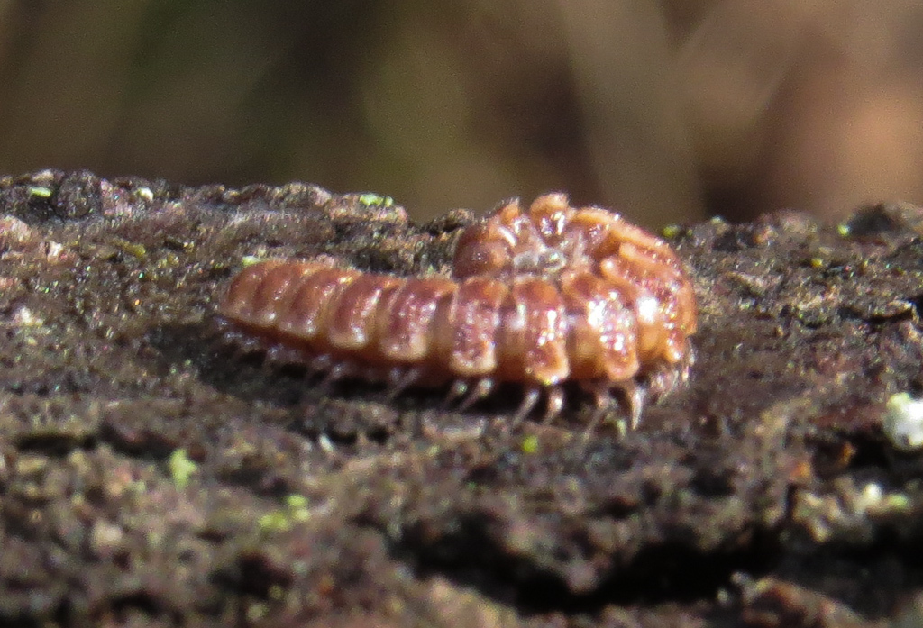 Image of Granulated Millipede