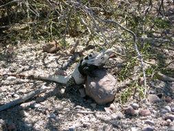 Image of <i>Ctenosaura conspicuosa</i>