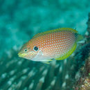 Image of Black-eared wrasse
