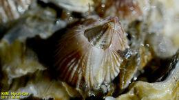 Image of <i>Balanus trigonus</i> Darwin 1854