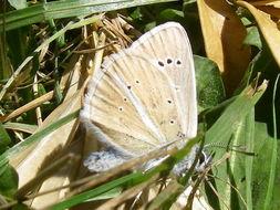 Image of <i>Polyommatus damon</i>