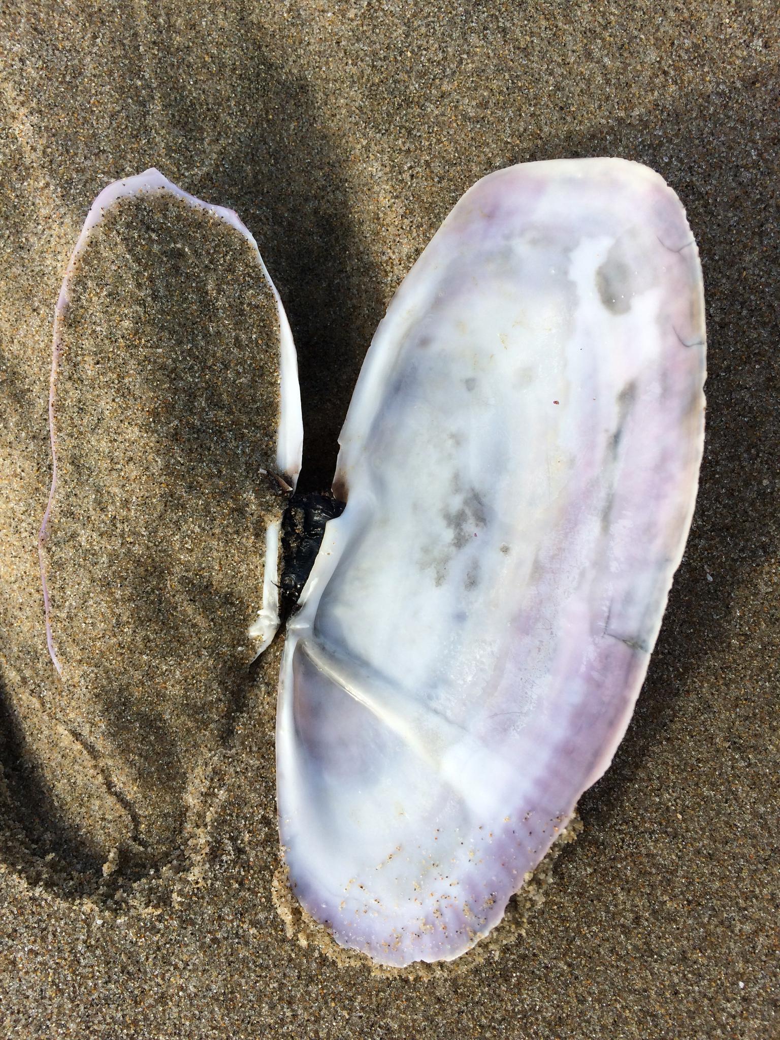 Image of Pacific razor