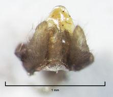 Image of <i>Polyplectropus altera</i> Mc Farlane ex Mc Farlane & Cowie 1981