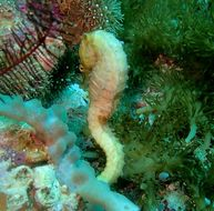 Image of Barbour's Seahorse