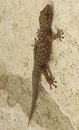 Image of <i>Phyllodactylus tuberculosus</i> Wiegmann 1834