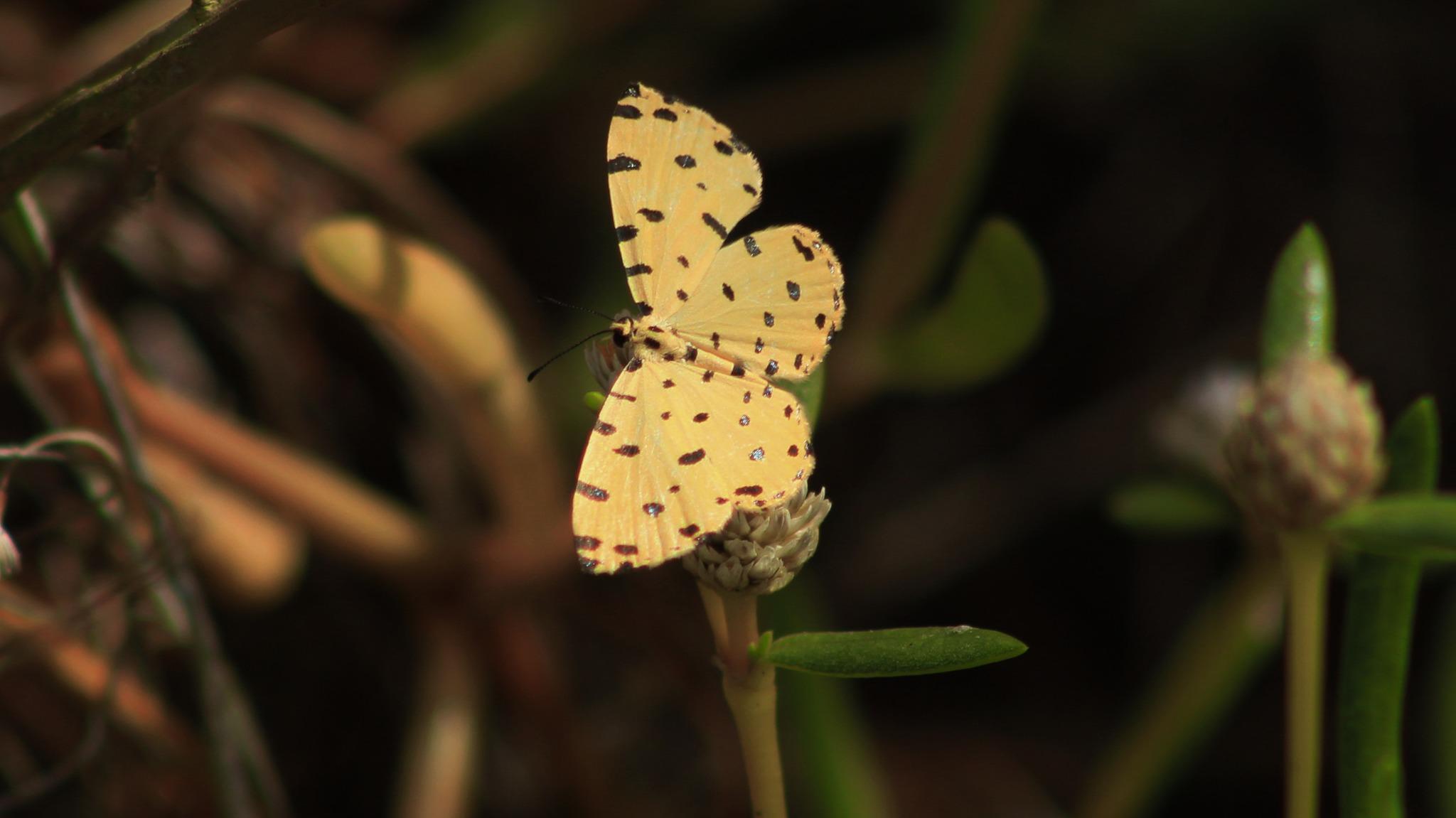 Image of <i>Baeotis sulphurea</i>