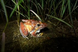 Image of Anchieta's Ridged Frog