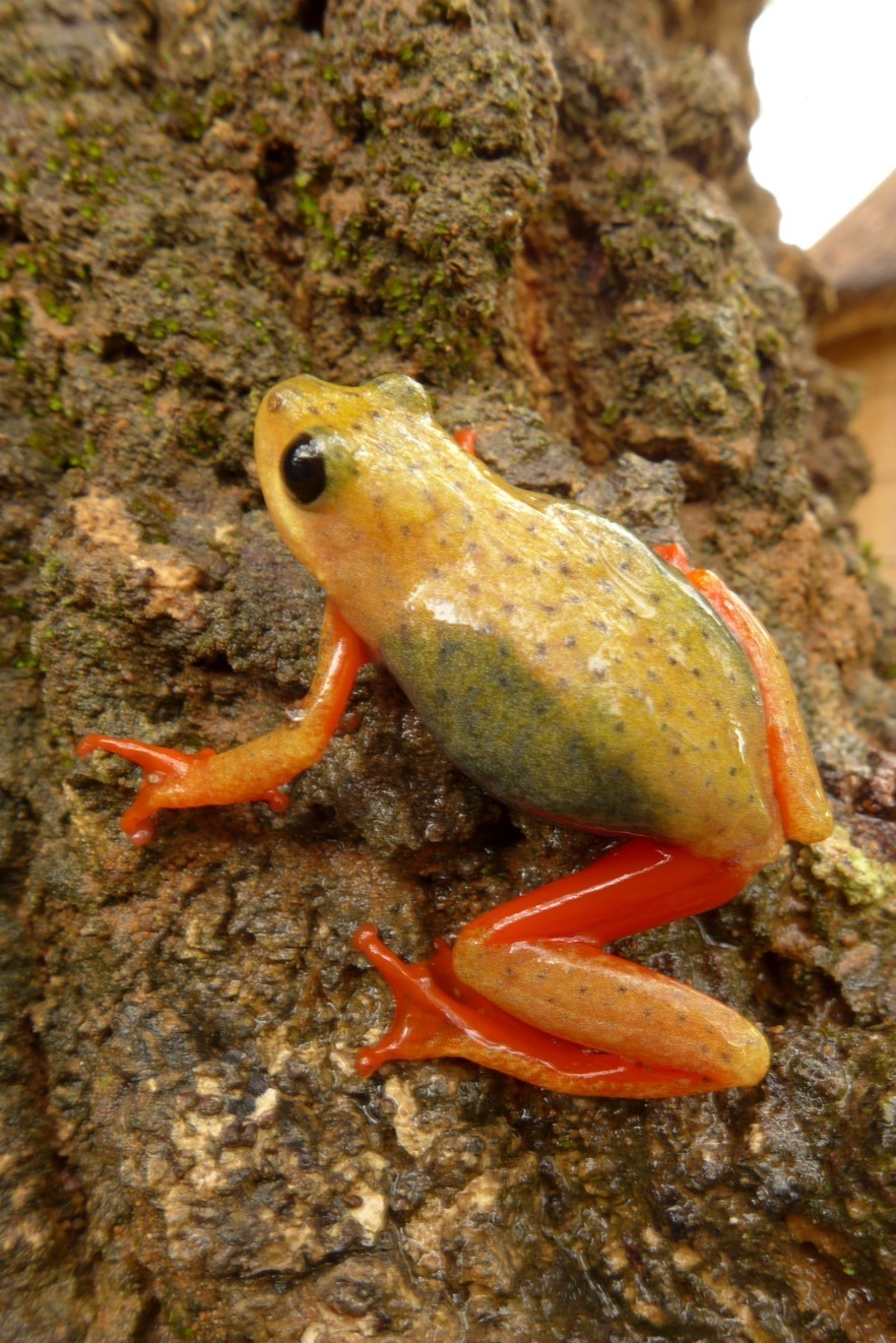 Image of Common Reed Frog