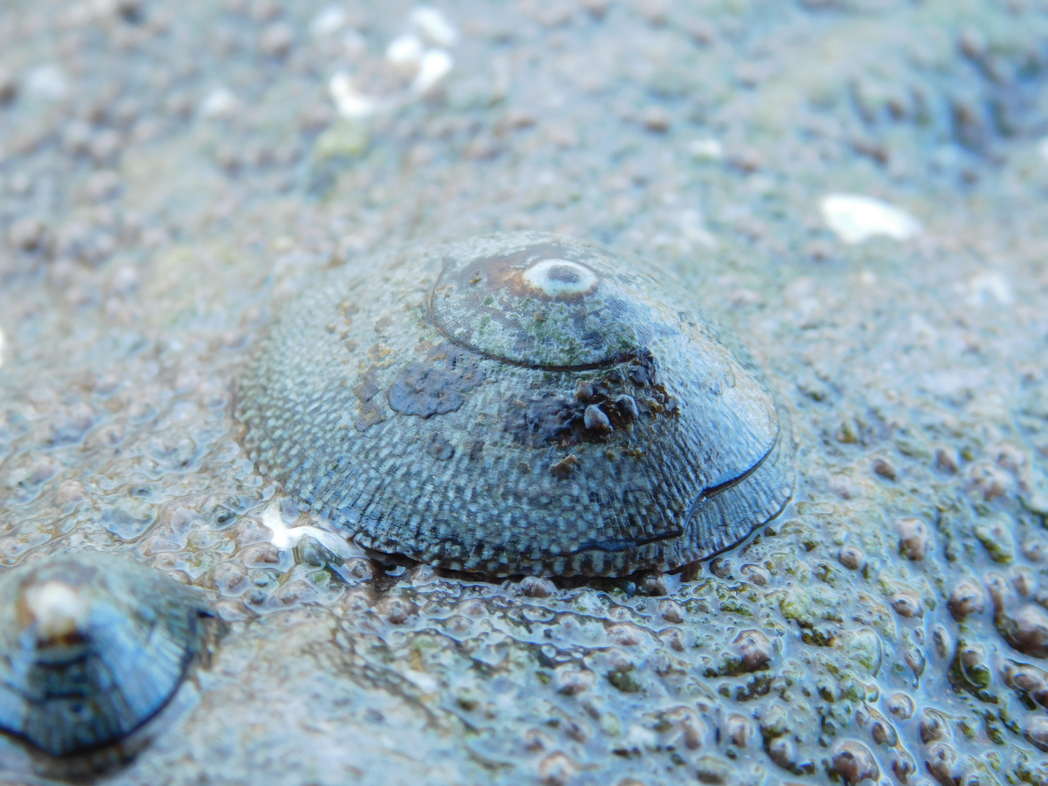 Image of fenestrate limpet