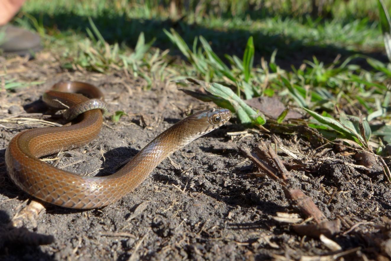 Image of Olive Marsh Snake