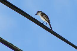 Image of Puerto Rican Flycatcher