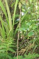 Image of <i>Gastrodia molloyi</i> Lehnebach & J. R. Rolfe