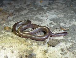 Image of Shaba thread snake