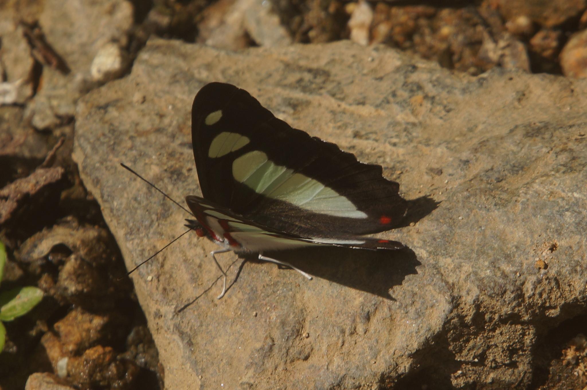 Image of <i>Pyrrhogyra edocla</i> ssp. <i>paradisea</i>