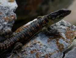 Image of Rough-scaled girdled lizard