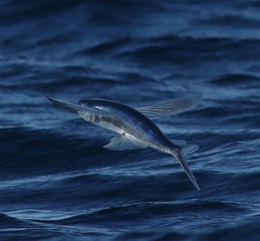 Image of Atlantic Flyingfish