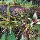 Image of <i>Werauhia hygrometrica</i> (André) J. R. Grant