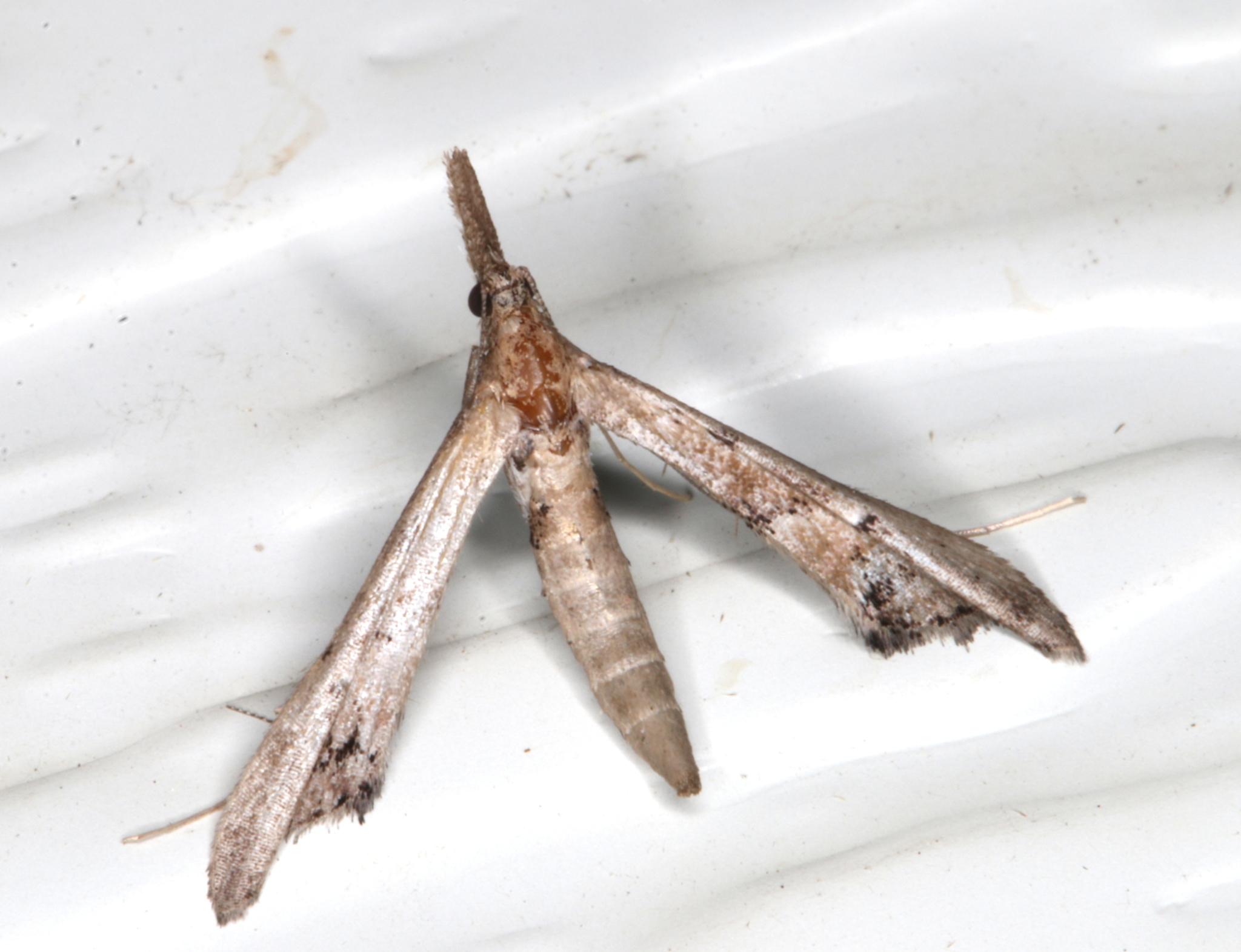 Image of <i>Tineodes adactylalis</i> Guenée 1854