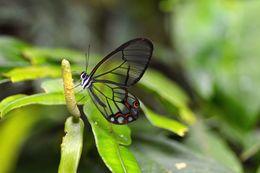 Image of <i>Pseudohaetera hypaesia</i> Hewitson 1854