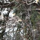 Image of <i>Elaeagnus angustifolia</i>