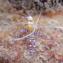 Image of Spotted cleaner shrimp